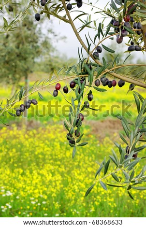 Olives hanging in branch at Alentejo field.