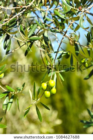 Olives in olive tree, olive oil, spanish quality #1084627688