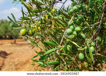 Olives in the countryside of Extremadura