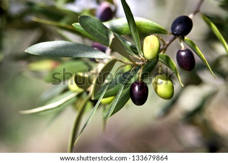 Olives in various stages of ripening Soft focus background Tuscany Olive Tuscany Italy