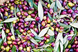 Olives of Koroneiki variety harvested into sacks at a semi-mountainous olive grove in the region of Messinia in southwestern Greece.
