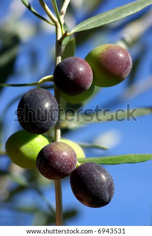 olives of the south zone of portugal, alentejo region in the full mediterranean.