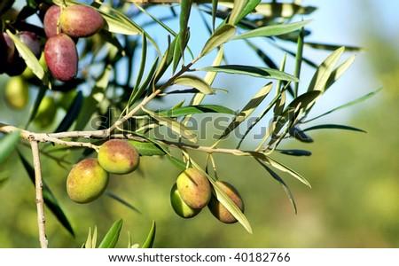 Olives on branch.