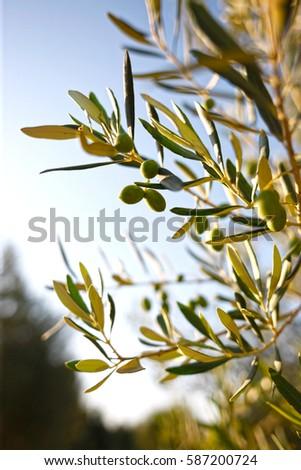 Olives on Olive Tree Stok fotoğraf ©