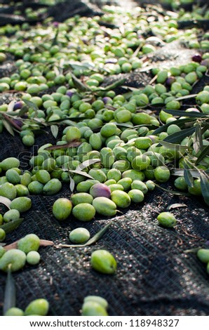 Olives on the ground - harvest day