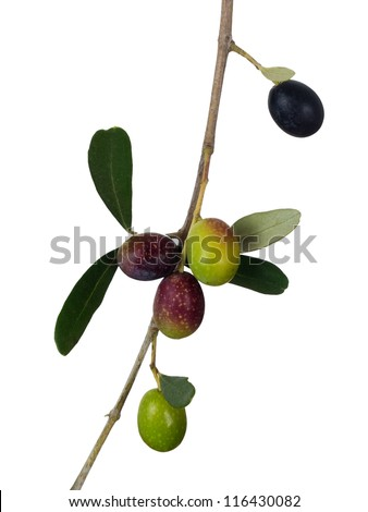 Olives on twig - green and black, isolated over white background