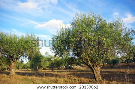 Olives tree at Portugal.