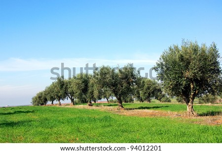 Olives tree at Portugal - stock photo
