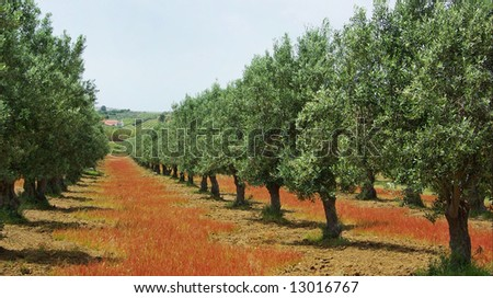 Olives tree in colored field at Portugal.