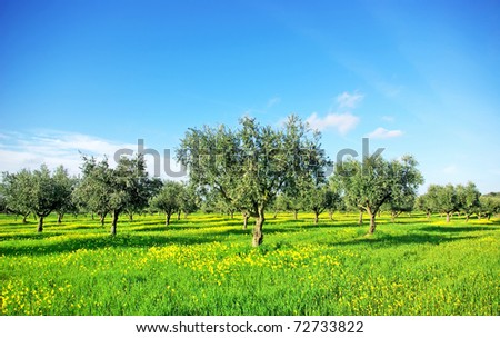 Olives tree in green field at soutt region of Portugal.