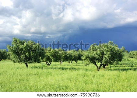 Olives tree on green field at Portugal. - stock photo
