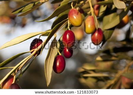 "Olives variety ���´Empeltre"". Denomination of origin ""Bajo Aragon"". Belchite. Zaragoza. Aragon. Spain."