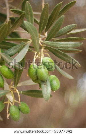 Olivetree - stock photo