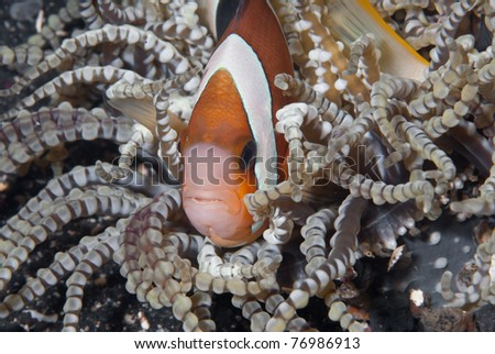 Oman anemonefish (Amphiprion omanensis), Sulawesi, Indonesia