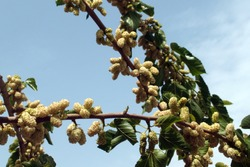 On a clear blue sky background, a mulberry branch is littered with its ripe white berries that look like fat worms, and this way the fruit attracts the attention of birds.