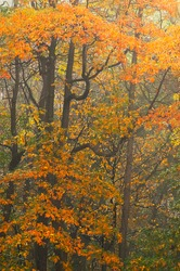 On a foggy late October day in Catoctin Mountain Park the foliage still is very colorful.