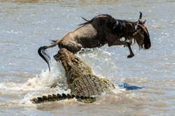 On a hair from death. Crossing through the river Mara.The antelope Blue wildebeest ( connochaetes taurinus ), has undergone to an attack of a crocodile.