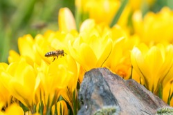 On a sunny day in February, the beautiful bees are at work with crocuses, which are spring bloomers