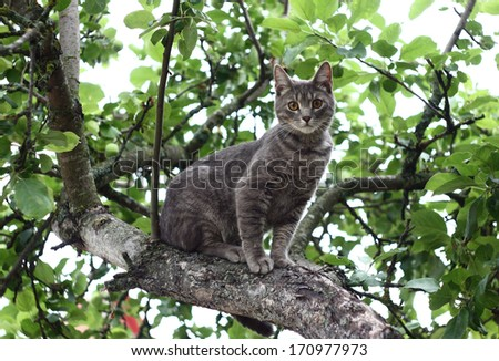 On a tree among branches the grey cat with the big eyes sits.