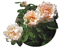 on a white background a circle is like a window to the world of nature and beauty, from the circle towards us we see white roses and a rosebud against the background of green leaves;  also green rose