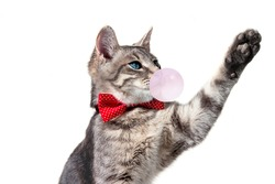on a white isolated background, a gray cat with blue eyes and a red polka dot bow tie. the cat pulls its paw, voting, looks away, catches something.blowing bubble of pink chewing gum