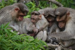 On a winter morning a family of monkeys is found sleeping and two baby monkeys were playing.