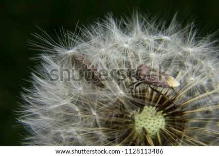 On dandelion insects #1128113486