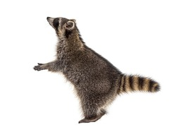On hind legs raccoon, reaching up, isolated