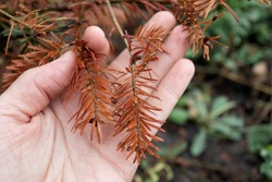 On palm of person is sick branch of coniferous plant from burn became brown in color in close-up on blurred natural background. fire blight. Proper care of plants. Didn't protect in time.