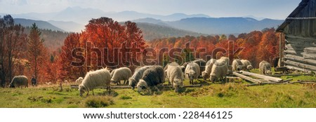 On pastures near the beautiful mountain peaks live in huts Hutsul shepherds Ukraine herding sheep in summer. Sometimes they remain until the fall, do not come until the cold