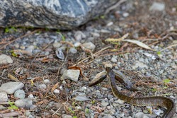 On rocky land, a northern water snake (Nerodia sipedon sipedon) is carrying a dead fish that it caught as it slithers away.