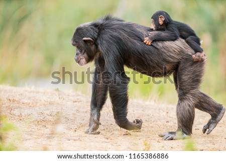 on the back of a Common chimpanzee there is a baby chimpanzee
