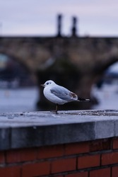 On the brick wall stands a wild white seagull and in the background Charles Bridge in the center of Prague in winter at sunset
