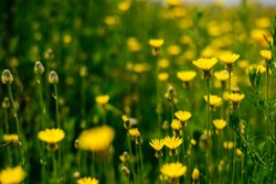 on the endless green field grow fragrant yellow flowers