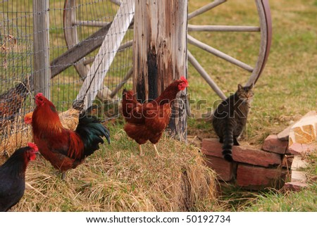 On the farm  three chicken birds and a can with part of a wagon wheel in the background.