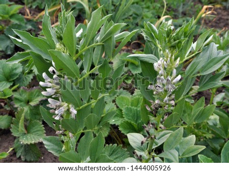 On the field at the flowering stage horse bean (Vicia faba)