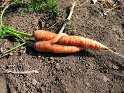On the ground lay two carrots intertwined.