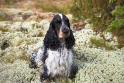 On the moss sits a beautiful English cocker spaniel. Color blue-roan. On the head there is a white strip. Eyebrows and muzzle with a tan. Girl. Age 4 years. Russia.
