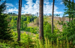 On the outskirts of a pine forest. Pine trees. Pine forest scene. Pinewood landscape