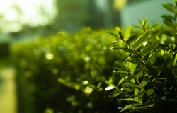 On the picture there is a shrub with very clear green leaves. In the background you see the same shrub, the further away the more blurred the shrub becomes.