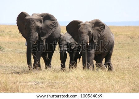 On the serengeti plain of Tanzania, Africa, a family of elephants flare theii ears in warning.