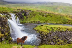 On the shore of waterfall Icelandic horse grazing.  Foggy day in Iceland