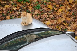 On the warm hood of the car sits unhappy homeless ginger cat. One ear is torn off, hair is tangled. Sunny autumn day.