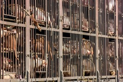 On their way to the slaughterhouse: Caged pigs in a Chinese animal truck