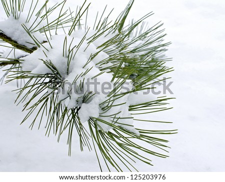 on white snow, fir branch, frost on the twig #125203976