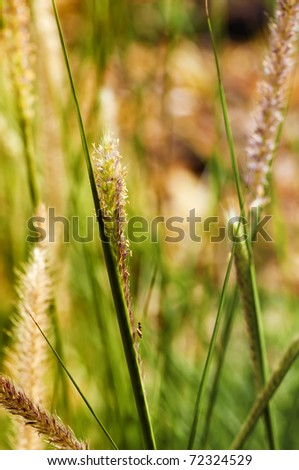 Onamental garden grass seed heads (kind of millet) in autumn sunset