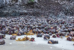 Once a year, for one or two consecutive nights, thousands of hermit crabs or cobos take over the coast of this island, in an emblematic event that marks the beginning of a new life cycle.