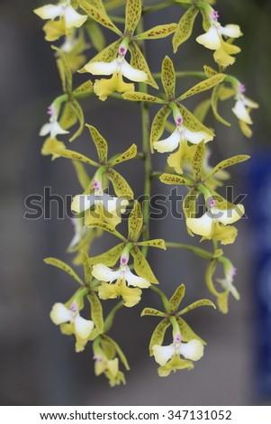 oncidium orchid
