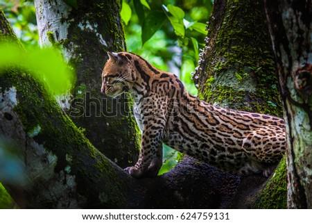 Oncilla. Wild cat on a tree. Wild cats. Ecuador. #624759131
