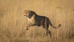 One adult cheetah full body side view of her leaping over tall yellow grass in soft afternoon light in Savuti Botswana